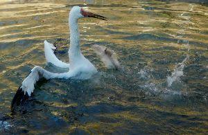 ゴルフの呼吸法は? 息は止めるか、吐くか めずらしいソデグロヅルの背泳ぎ?!  ソデグロヅルがプールに飛び込むや、めずらしい背泳ぎ(?!)を見