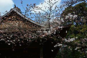 ゴルフの呼吸法は? 息は止めるか、吐くか 29日に都心の桜を見に行ったら、まだまだ1分か2分咲き。  靖国神社の開花基準の桜はどうかと行ってい