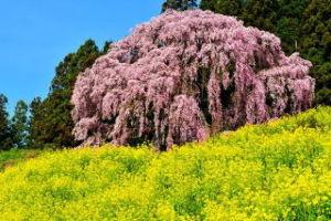 *とりあえず* 二本松市の合戦場の桜🌸  見に行きたいな  菜の花の黄色と、桜のピンクがとても綺麗🌸