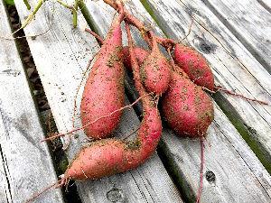 8903 - (株)サンウッド こちらが駄目なら何処も落ち葉で 焼き芋こんがり 美味しく焼けそうです。        薩摩芋掘り11