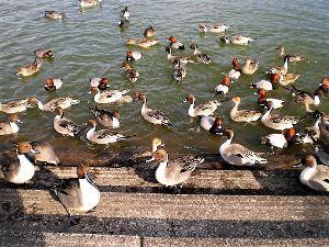 私流の自然体写真 今年も沢山の鴨が来た小幡緑地の池です。