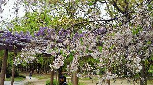 私流の自然体写真 桜もあっという間に終わりに近づいて、後を埋める様に藤の花が咲き始めました。 この季節が一年中続いても