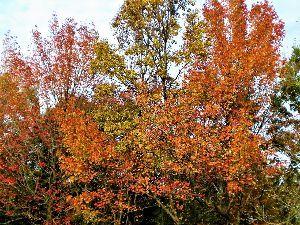 私流の自然体写真 色鮮やかで素晴らしいですね! 雑木林の控え目な紅葉も心を穏やかにしてくれるようです。