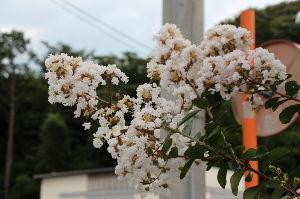 私流の自然体写真 夏には、さわやかな百日紅の花、もっとも白い花だけど