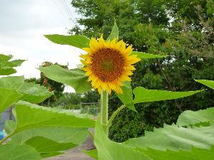 私流の自然体写真 畑の隅に植えたヒマワリ(ハムスターのエサ)が大輪を付けました。