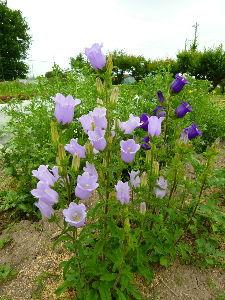 私流の自然体写真 新たに借りた畑の隅に植えた花が野菜に負けじと咲き誇っています。