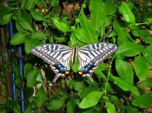 私流の自然体写真 爽やかな朝、5時に目が覚めて朝刊を取りに玄関を出るとプルンパーゴの葉でアゲハ蝶が寝ていました。目こそ