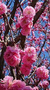 50代素敵な時間 おはよう☀️😃❗ 雲ひとつない快晴の朝です。  今年は2月が寒かったので梅の開花が遅れましたが、3月