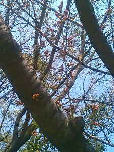 ☆日刊アデチン☆ 独りで。。できるもん♪ 桜、つぼみが膨らんできてます。  もうすぐ開花かにゃ。