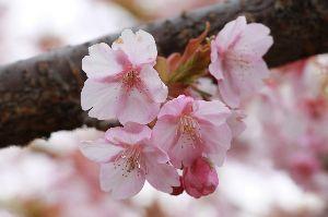 息抜きしませんか? 暫くです、FブックやLINEで 手一杯で此方に来なくてご免なさい いよいよ桜が始まりましたね🌸 桜え