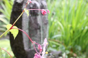 息抜きしませんか? 初秋の花、シュウカイドウです、川場村の吉祥寺の境内に群生してました。 田園プラザは相変わらず混んでま