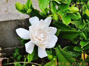 伊豆けんの家庭菜園   くちなしが咲き始めました、小ぶりの花の方です。大輪の方は開花が遅いのです。この芳香が大好きです。
