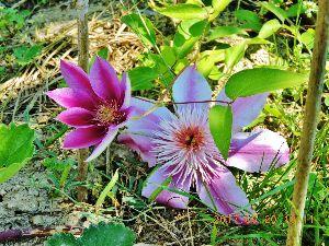 """伊豆けんの家庭菜園     蔓性植物のクレマチスです。     花言葉は, """"企み"""" &rdqu"""