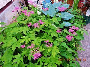 """伊豆けんの家庭菜園   京鹿の子です。   花の模様が、京都の伝統工芸""""鹿の子絞り""""に似ているこ"""