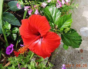 伊豆けんの家庭菜園   室内で冬を越したハイビスカス、一番花が開きました。   この地は冬の寒さが厳しく、例年枯らしてい