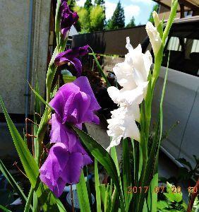 伊豆けんの家庭菜園   梅雨明けとともに、また今年もグラジオラスが咲きましたよ、ふうー!