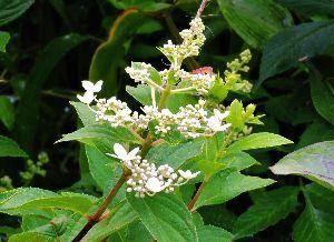 伊豆けんの家庭菜園    ●サビタ(糊空木)●   サビタの花が咲きました。サビタは北海道での呼び名で、原田康子の短編