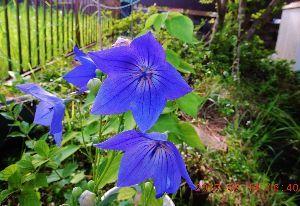 伊豆けんの家庭菜園   今年も庭の桔梗が咲きました。園芸用に開発されたものが多く、日本古来からの原種は、絶滅危惧種である