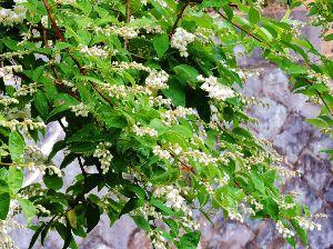 伊豆けんの家庭菜園    卯の花が咲きました、夏の到来です。    ♪卯の花の匂う垣根にホートトギースはやも来啼きて~♪