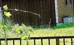 伊豆けんの家庭菜園   つる草どもも一生懸命に活きております。   宙を彷徨ってた左右のつる草の先端が、程なく合体するこ