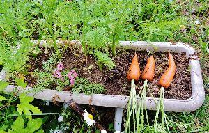 伊豆けんの家庭菜園   昨年末にプランターに蒔いた人参、室内で冬越しして4月に屋外に出しました。   それで、最近少し収