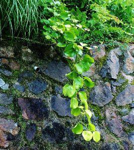 伊豆けんの家庭菜園   サルトリイバラです。絡む相手がなく、自分に絡み返しておりまするwww。   こやつの葉っぱは、私