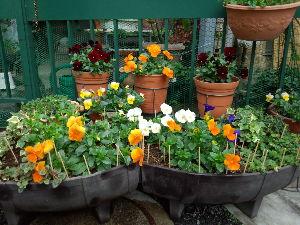 ♪の~天気☆の~天気♪ 暖かかった時に蒔いたヘブンリーさんの芽が出てきたv(^><^)v  が、嬉しいがこにょ寒さ。。。 玄