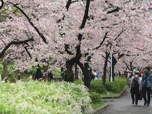一人旅を楽しんでる方、お話しませんか 雨上がり、8日の土曜日大川べりを歩いてきました ソメイヨシノの花が満開に咲いていましたよ 今年の大阪
