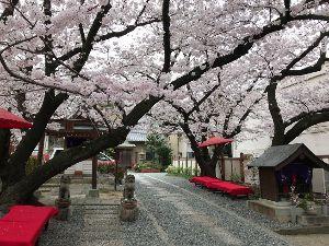 一人旅を楽しんでる方、お話しませんか 大阪の桜も満開を迎えていますよ ちょっと探すと、すぐそこにも観桜スポットが見つかるかも この写真は松