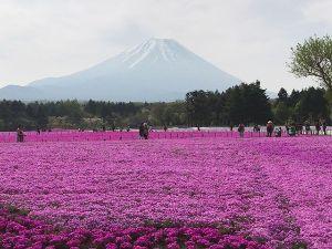 一人旅を楽しんでる方、お話しませんか 富士芝桜祭りに行ってきました 生憎の天気でしたが何とか富士山も観ることができました
