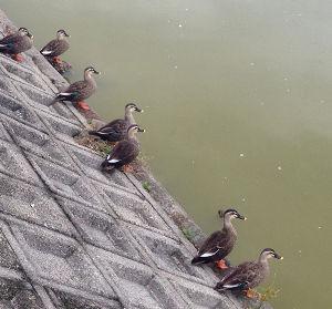 株式トレーダー集まれ!(実況、利益、損益報告、などなど) 少し前に古墳めぐりに行きました。 古墳の堀で鴨たちを見かけ、近づくと気配を察したのか、 キョロキョロ