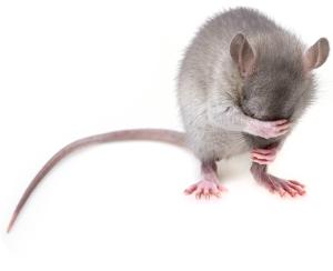 捕獲器のつかいかた 害獣駆除有難うございます心より感謝しますm(__)m 灰色鼠代表代理で感謝申し上げに参りました 此処