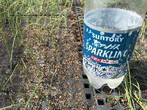 コンバイン 玉ねぎの苗の発芽しないところがあり潅水量と土の乾きの微妙な関係で土が締まってしまったことも一因なので