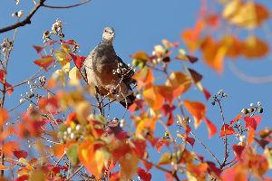 花・蝶などに興味おありの方どうぞ 2 【アメリカフウ・ナンキンハゼの紅葉 10点】  皆さん おはようございます。   楓の紅葉は清楚で良