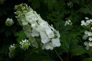 花・蝶などに興味おありの方どうぞ 2 【雨中のアジサイ 第2弾 15点】  皆さん おはようございます。   雨の日・曇りの日・晴れの日が