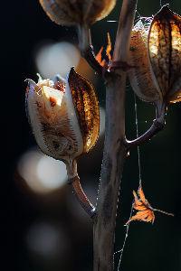 花・蝶などに興味おありの方どうぞ 2 【ウバユリ・タカサゴユリの種子 8点】  皆さん 今晩は。   「ウバユリ」・「タカサゴユリ」の種子