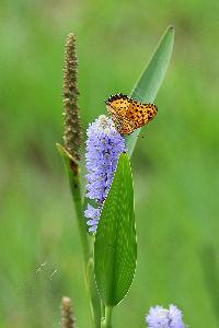 花・蝶などに興味おありの方どうぞ 2 【ハス池で出会ったほかの花・昆虫・野鳥 10点】  皆さん 今晩は。   雨の前のハス池で出会った「