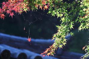 花・蝶などに興味おありの方どうぞ 2 【紅葉 in 牛滝山大威徳寺・和泉市松尾寺 15点】  皆さん 今晩は。   今年も紅葉のシーズンで