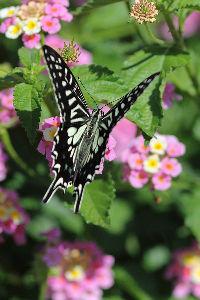 花・蝶などに興味おありの方どうぞ 2 【吸蜜昆虫 at ランタナ 10点】  皆さん 今日は。   ランタナの花で吸蜜する「アゲハチョウ」