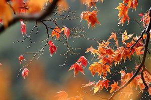 花・蝶などに興味おありの方どうぞ 2 【雨後の紅葉 in 牛滝山大威徳寺 15点】  皆さん 今晩は。   昨日(11月19日)、午前9時