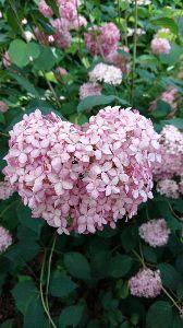( ̄∇ ̄)v ブイ♪ おはよう  みるも地方   快晴♪ 昨日は  またまた 同僚と   ハート型の紫陽花を見に京都のお寺