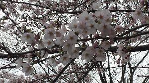 私の日記帳 写真撮るのが下手で、 一本桜をとりたいですが、 なかなか取れません。 4月5日だったかな?近場と言え