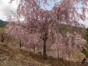 私の日記帳 今しがた 予報通りに雨が降りだしました   今日は東吉野の高見山に枝垂桜の綺麗なところがあって行って