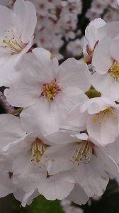 ランプの宿♪ あかりちゃーん お久しぶりですねー♪ 元気ですかー?  こちらは、桜満開! スマホでパチリ! してき