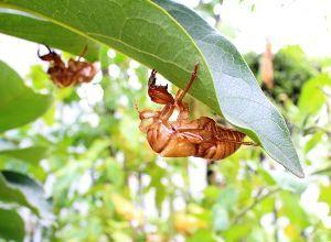 50歳以上の集会所で語らいを 空蝉 我が家の花壇から蝉が生まれた 鳴き声もこの暑さで 元気がないように感じるが 蝉さんは楽しく鳴い