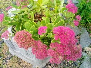 50歳以上の集会所で語らいを 我が家の花壇 弁慶草が咲き 薔薇が咲き ミニバラが咲き マリーゴールドが咲き 花壇も綺麗です コスモ