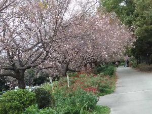50歳以上の集会所で語らいを 桜が抜けました