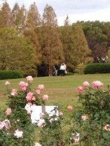 50歳以上の集会所で語らいを 十月桜 & バラ園と背後のメタセコイア 少し離れた公園にて