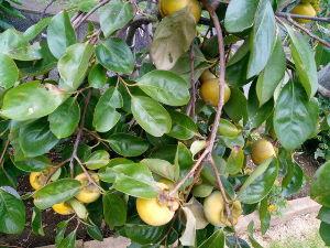 50歳以上の集会所で語らいを 我が家の3本の柿の木は収穫時期 全部で60個はあるだろうか 一か月は味わいそうだ 今年はやや小粒な感