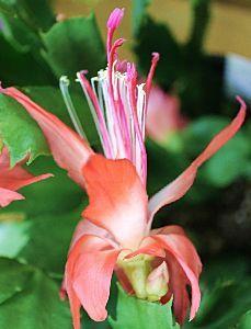 50歳以上の集会所で語らいを シャコバサボテン 上品な花です 色彩も 花弁も 素敵です 枯れる前に撮影しました 花言葉は「一時の美